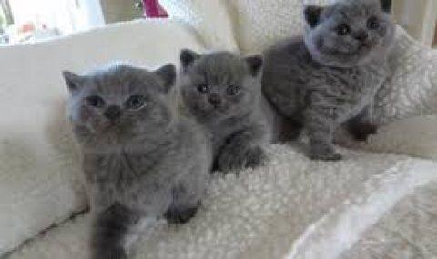 Cute British short hair kittens Cute British short hair kittens