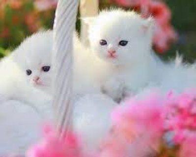 Home Raised Ragdoll Kittens 13 weeks old kittens
