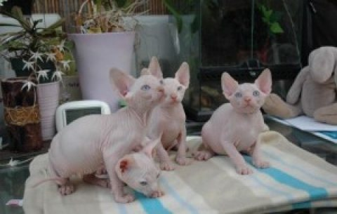 We have two male and one female Sphynx Kittens available.