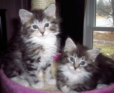 Maine Coon Kittens for you and for presnt to friends.