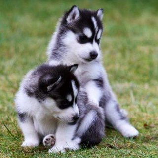 Home Raised Blue Eyed Siberian husky Puppies For Sale