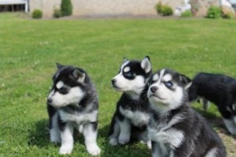 Siberian Husky Puppies for Re-homing..