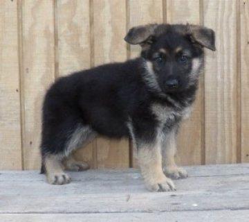 very well German Shepherd Dog puppies for sale