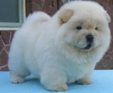Lovely Chow Chow Puppies for x-mass
