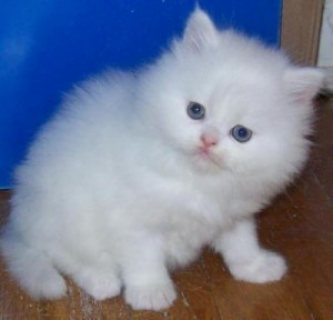 Nice Looking Persian Kittens Ready For sale