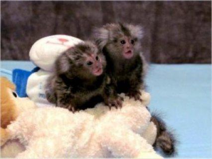 baby mamusert monkeies for sale