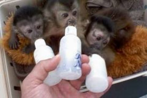 lovely baby capuchin monkeys ready