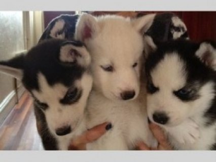 SWEET AND LOVING SIBERIAN HUSKY PUPPIES AVAILABLE FOR RE-HOMING