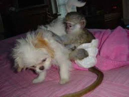baby Capuchin Monkeys for sale now