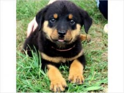 cutie Rottweiler Puppies looking for a good home