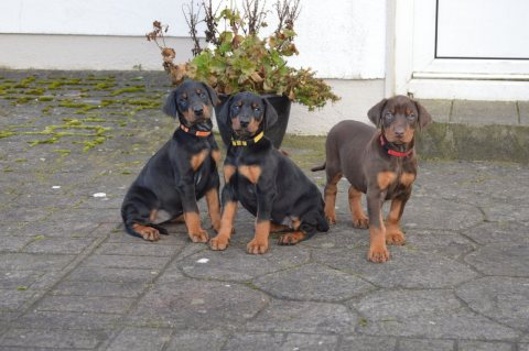 Quality Dobermann Pups