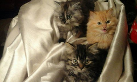Stunning Persian X Bengal Kittens For Sale