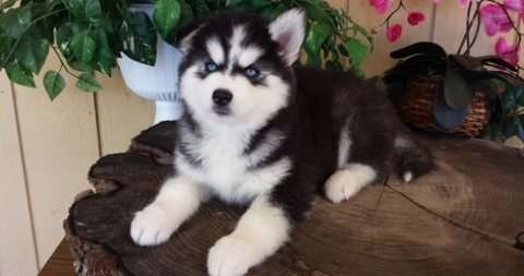 resplendent responsible siberian husky puppies for AVIALABLE NOW