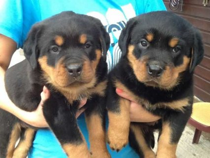 Beautiful Rottweiler Pups For Sale