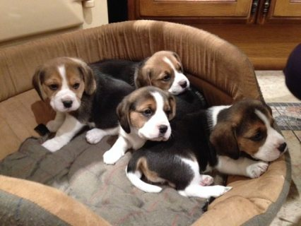 Beagle Puppies Ready Now 10 Weeks Old