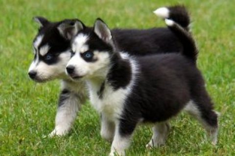 K C Registered Blue Eyes Siberian Husky Puppies