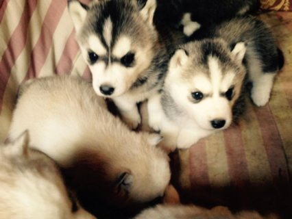 Black/Grey Blue Eye Siberian Husky Puppies Available Now!!!