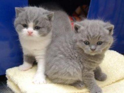 القطط قصيرة الشعر البريطاني الذكور 10 أسابيع من العمر للبيع