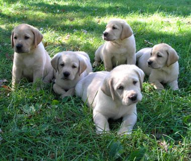 Beautiful Labradors Puppies For Sale