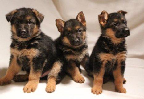 Stunning German Shepherd Puppies Now Ready