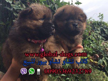 عرض سعر كلب تشاو تشاو بيور للبيع 2