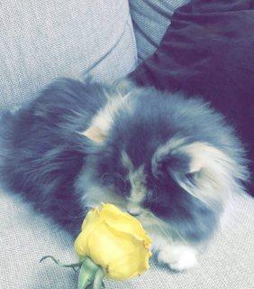 قطه شيرازي بيور للبيع بسعر مناسب