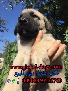 عرض سعر كلب كنجال – كنجل - كنغال بيور للبيع