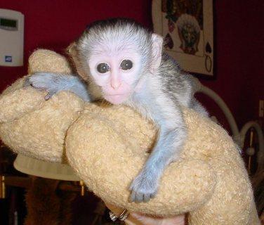 القرود متاحة للبيع