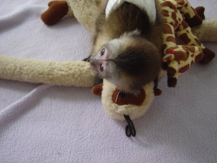 Excited Diaper Trained Capuchin monkey babies now