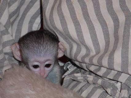 Gentle Male/Female Capuchin Monkeys Ready Now!!