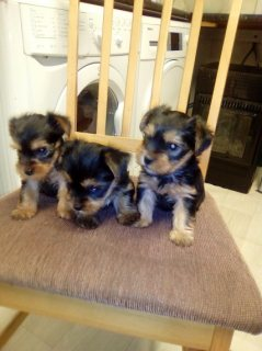 3 Yorkshire Terrier Puppies for sale.
