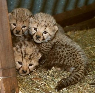 Healthy Lion and Tiger Cubs.
