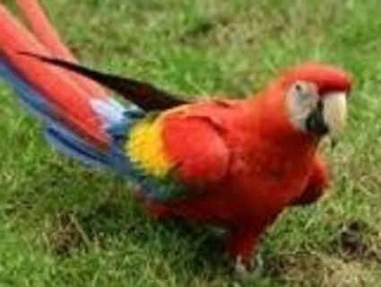 Beautiful Scarlet Macaw Parrots.