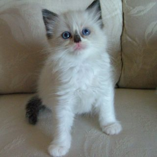 Hand-Raised Ragdoll Kittens available