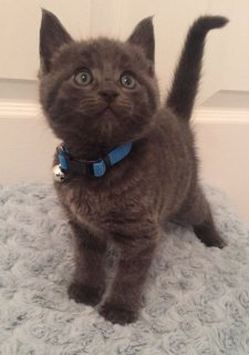 British Shorthair Kittens - Pedigree Registered.