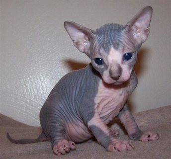 Sphynx male and female kittens.