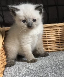 Registered Ragdoll Kitten for sale.
