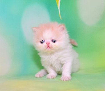 Exotic British Shorthair Kittens available for sale