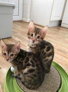 Stunning Pedigree Bengal Kittens