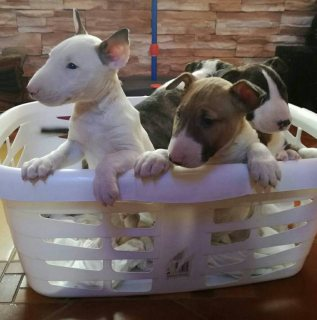 Incredible Bull terrier puppies for sale.