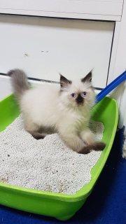 قطط شيرازيات للبيع
