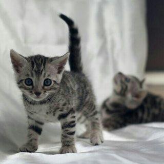 قطط بنقالي للبيع ((سعر خيالي )) تبقى 3 فقط