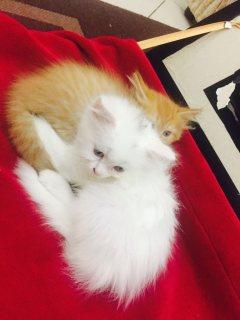 2 قطط للبيع