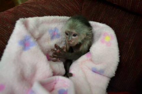 أعلى جودة القرود الكابوشين المتاحة