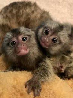 ذكر و أنثى القرد على استعداد للذهاب جيدة و رعاية المنازل