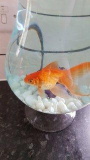 والأسماك الذهبية الكبيرة تحتاج إلى منزل جديد
