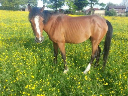Excellent Arabian female horse for sale.