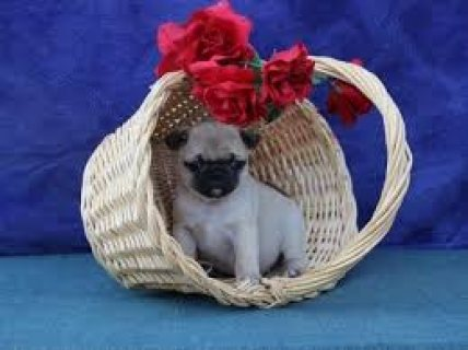 We have some beautiful Pug puppies for sale