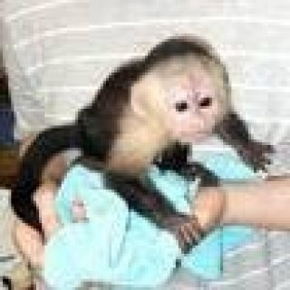 Female Capuchin monkeys available
