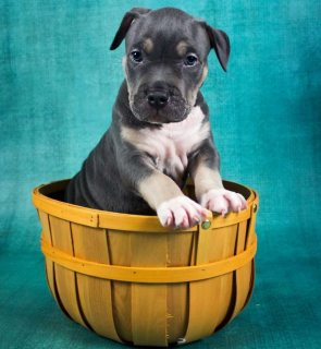 Blue American Bully Female For Sale
